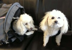 The pampered poodles, L to R: Looney and Tuffy.